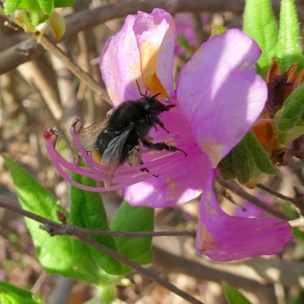 弥勒山山頂のツツジの蜜を集めていたマルハナバチ(たぶんクロマルハナバチ) - 4