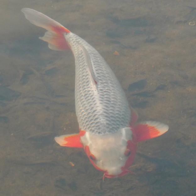 紅白の鯉 - 2