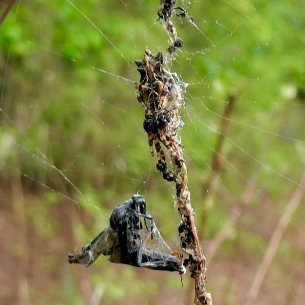 蜂みたいなのを捕まえていたゴミグモ - 2