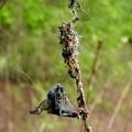 Photos: 蜂みたいなのを捕まえていたゴミグモ - 2