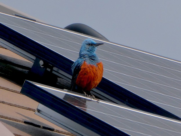 屋根の上でくつろぐイソヒヨドリ - 12