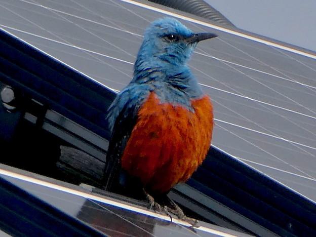 屋根の上でくつろぐイソヒヨドリ - 13