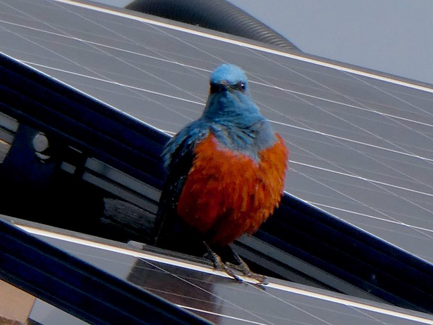 屋根の上でくつろぐイソヒヨドリ - 15