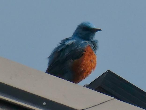 屋根の上でくつろぐイソヒヨドリ - 6