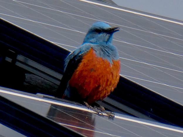 屋根の上でくつろぐイソヒヨドリ - 16