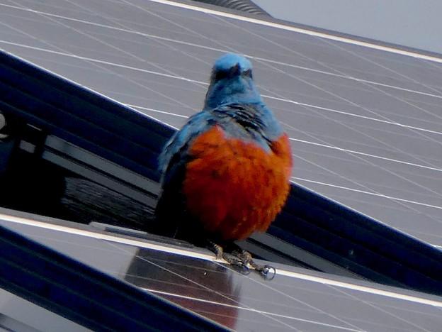 屋根の上でくつろぐイソヒヨドリ - 17