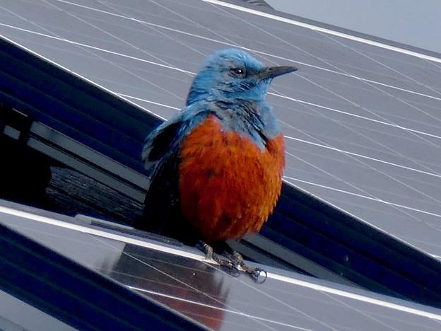 屋根の上でくつろぐイソヒヨドリ - 18