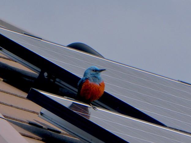 屋根の上でくつろぐイソヒヨドリ - 19