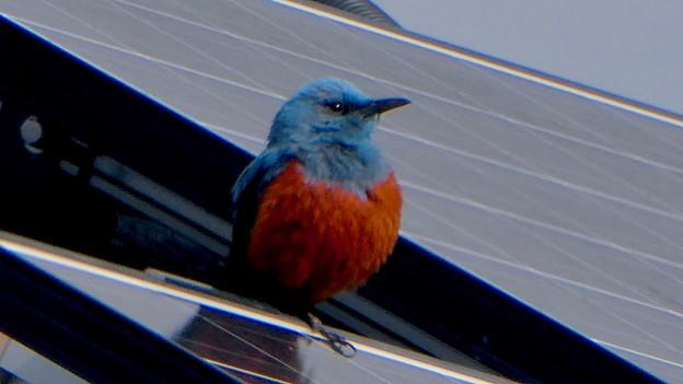 屋根の上でくつろぐイソヒヨドリ - 20
