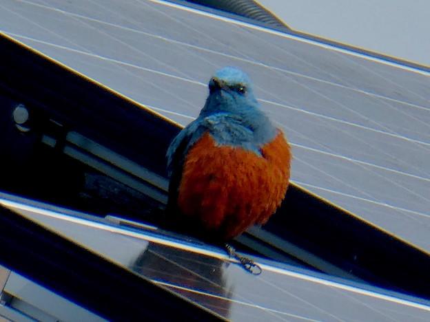 屋根の上でくつろぐイソヒヨドリ - 21