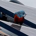 屋根の上でくつろぐイソヒヨドリ - 23