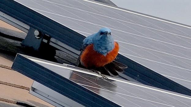 屋根の上でくつろぐイソヒヨドリ - 24