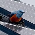 屋根の上でくつろぐイソヒヨドリ - 25
