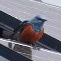 屋根の上でくつろぐイソヒヨドリ - 26