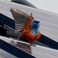 屋根の上でくつろぐイソヒヨドリ - 27