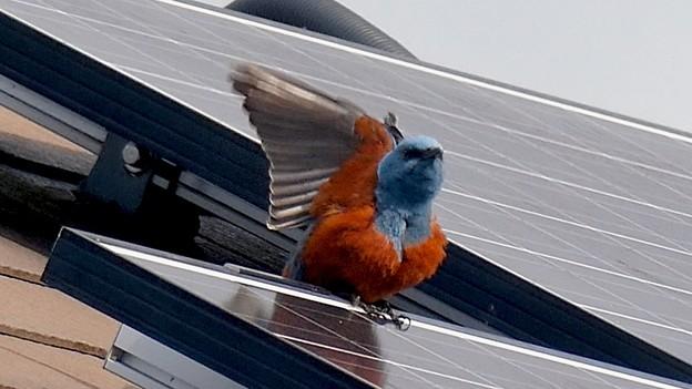 屋根の上でくつろぐイソヒヨドリ - 28