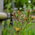 花の上にとまる黒い時期のヤマトシリアゲ - 1