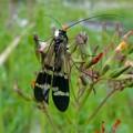花の上にとまる黒い時期のヤマトシリアゲ - 3