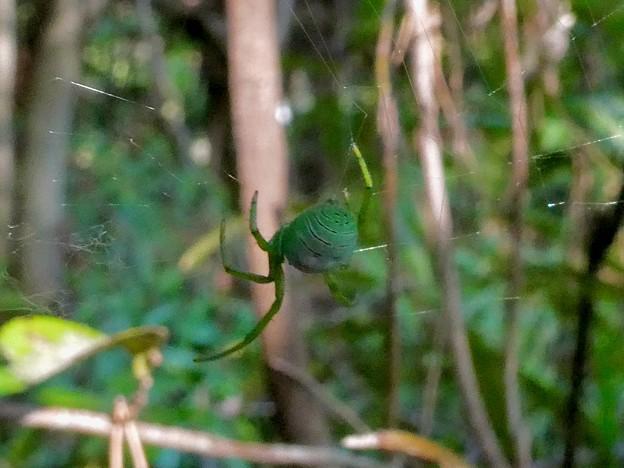 巣作り中の緑色の蜘蛛 - 15