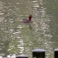 北新池にいたカイツブリ - 1