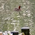 北新池にいたカイツブリ - 2