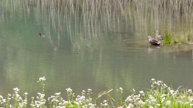 北新池にいたカイツブリとカルガモ - 2
