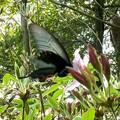 手のひらサイズの黒い蝶(クロアゲハ?) - 5
