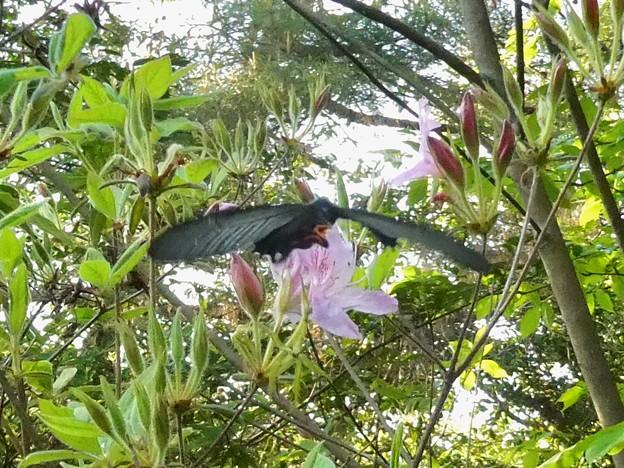 手のひらサイズの黒い蝶(クロアゲハ?) - 4