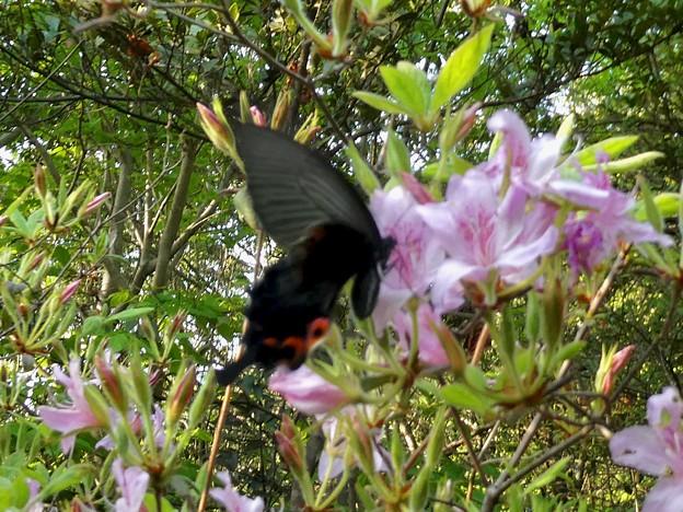 手のひらサイズの黒い蝶(クロアゲハ?) - 2