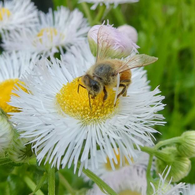 花の蜜を集めていたミツバチ - 1