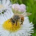 花の蜜を集めていたミツバチ - 2