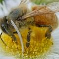 花の蜜を集めていたミツバチ - 4