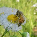 花の蜜を集めていたミツバチ - 6