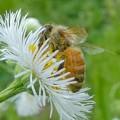 花の蜜を集めていたミツバチ - 5