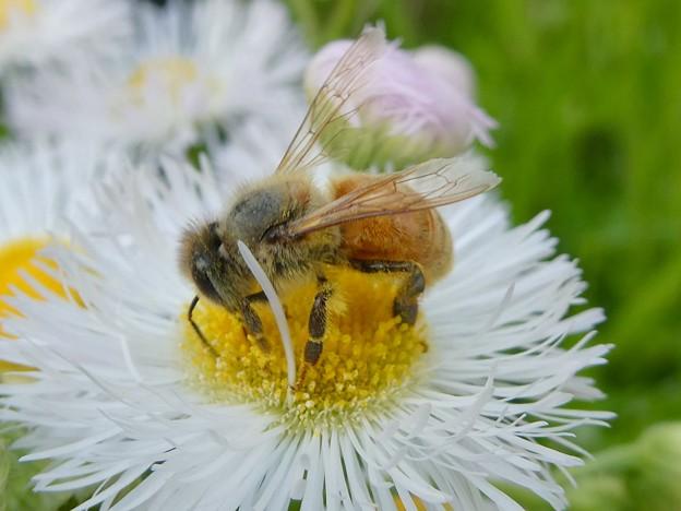 花の蜜を集めていたミツバチ - 3