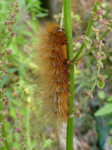 茶色い大きな毛虫 - 1