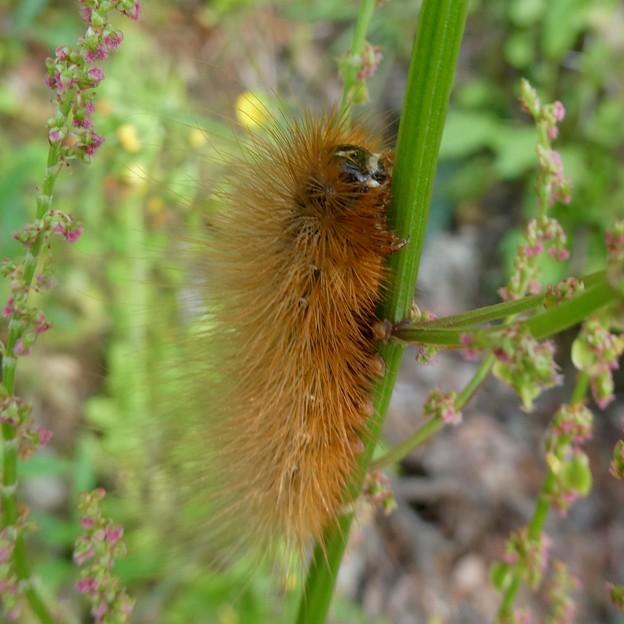 茶色い大きな毛虫 - 2