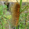 茶色い大きな毛虫 - 3