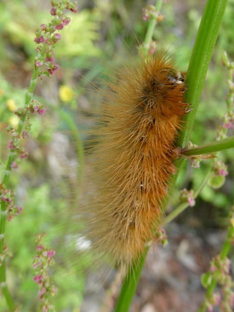 茶色い大きな毛虫 - 4