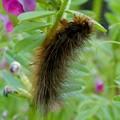 茶色い大きな毛虫 - 5