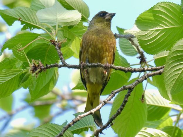 木の上でしきりに鳴いてたカワラヒワ - 1