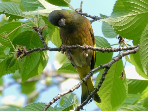 木の上でしきりに鳴いてたカワラヒワ - 2