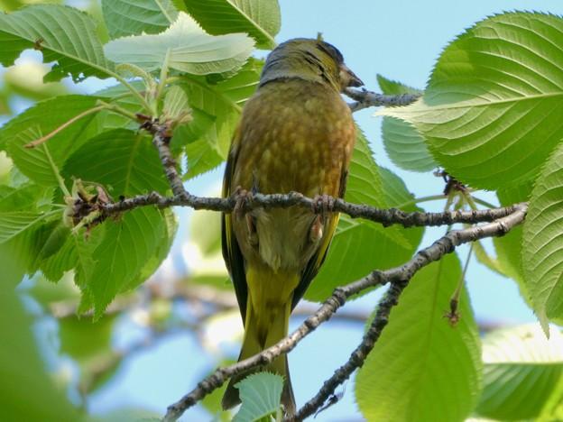 木の上でしきりに鳴いてたカワラヒワ - 3