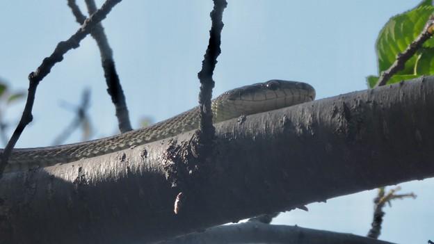 木の上にいたヘビ(たぶんアオダイショウ) - 7