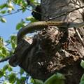 木の上にいたヘビ(たぶんアオダイショウ) - 1