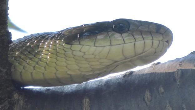 木の上にいたヘビ(たぶんアオダイショウ) - 11