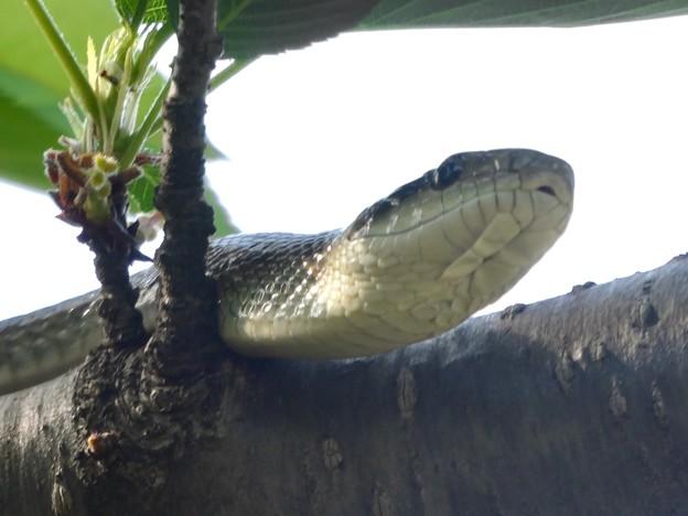 木の上にいたヘビ(たぶんアオダイショウ) - 12