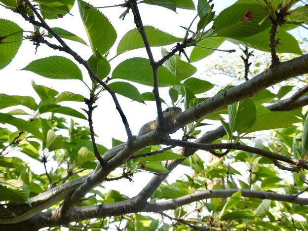 木の上にいたヘビ(たぶんアオダイショウ) - 17