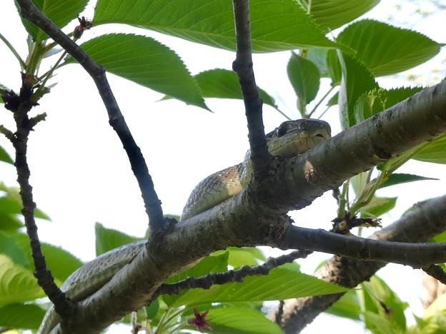 木の上にいたヘビ(たぶんアオダイショウ) - 18