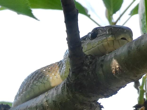 木の上にいたヘビ(たぶんアオダイショウ) - 19
